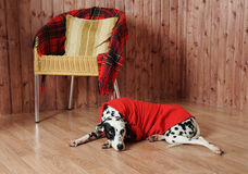Dalmatian in a red sweater in the autumn interior. Lies near the chair Stock Photography