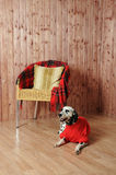 Dalmatian in a red sweater in the autumn interior. Lies near the chair Stock Image