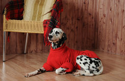 Dalmatian in a red sweater in the autumn interior. Lies near the chair Royalty Free Stock Images