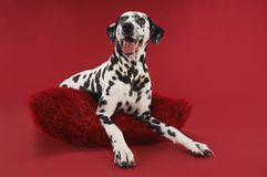 Dalmatian Relaxing On Cushion Royalty Free Stock Photography
