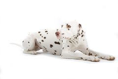dalmatian resting Στοκ Εικόνες