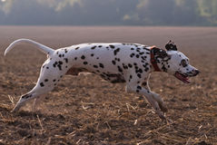 Dalmatian running fast in the fields Stock Photos