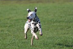 Dalmatian running forwards on grass Stock Photography