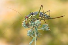 Dalmatian Saddle Bush-cricket Ephippiger discoidalis in Croatia, Krk stock photos