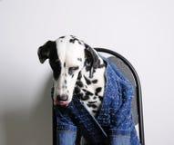 Dalmatian sitter slicka för hund i ett blått omslag på en kontorsstol på en vit bakgrund rolig stående Arkivfoto