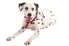 Dalmatian sitting Royalty Free Stock Photos
