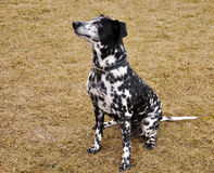 Dalmatian sitting on dried grass Stock Images
