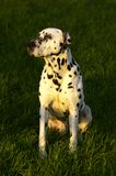 Dalmatian sitting on grass  Royalty Free Stock Photos