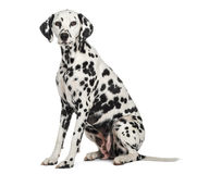 Dalmatian sitting, looking at the camera, isolated Royalty Free Stock Images