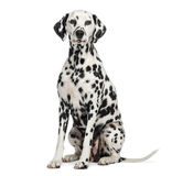 Dalmatian sitting, looking at the camera, isolated Royalty Free Stock Image
