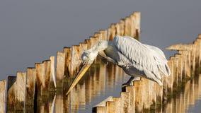 Dalmatian skrapa för pelikan Arkivfoto