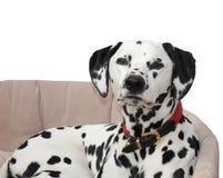 Dalmatian som ligger i hundsäng som isoleras mot en vit bakgrund Royaltyfri Foto