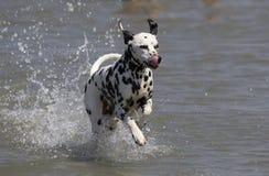 Dalmatian splashing in water Royalty Free Stock Image