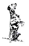 Dalmatian. With the spotted wool on a white background Stock Image
