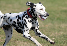 Dalmatian, spotty dog with spotty ball Stock Images