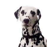dalmatian stående Arkivbilder