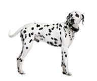 Dalmatian standing in front of white background Stock Photography