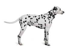 Dalmatian standing in front of white background stock photo