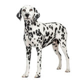 Dalmatian standing, isolated Stock Image