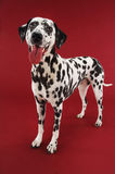 Dalmatian Standing With Mouth Open Royalty Free Stock Images