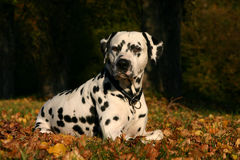 Dalmatian stud dog lying in autumn leaves royalty free stock photography