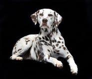 Dalmatian sul nero fotografie stock