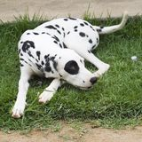 Dalmatian - Tila Stock Image