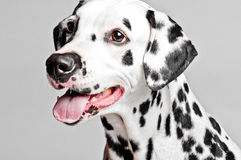 Dalmatian valp arkivbild
