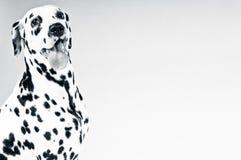 Dalmatian valp royaltyfria bilder