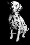 Dalmatian valp arkivfoto