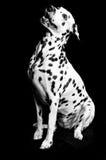 Dalmatian valp arkivfoton
