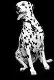 Dalmatian valp royaltyfri fotografi