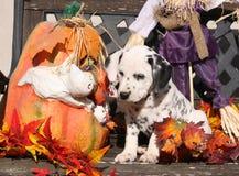 Dalmatian valp i den Halloween garneringen Fotografering för Bildbyråer
