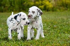 Dalmatian valpar Fotografering för Bildbyråer