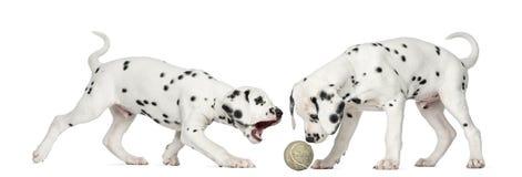 Dalmatian valpar som spelar samman med en boll Arkivfoto