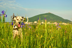 Dalmatian walks in the grass and flowers on the background of the mountain Royalty Free Stock Photos