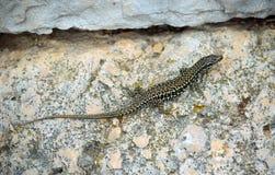 Free Dalmatian Wall Lizard Royalty Free Stock Image - 102583776