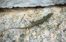 Dalmatian wall lizard. Podarcis melisellensis on wall royalty free stock image