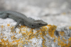 Dalmatian wall lizard Stock Images