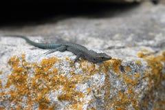 Dalmatian wall lizard Royalty Free Stock Photos