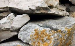 Dalmatian wall lizard Stock Image