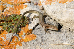 Dalmatian wall lizard. View from above on the Dalmatian wall lizard royalty free stock image