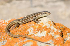 Dalmatian wall lizard. View from above on the Dalmatian wall lizard royalty free stock images