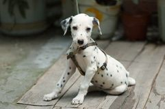 The Dalmatian was rope shackles. Puppies Royalty Free Stock Photography