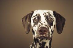 Dalmatian, watchful glance. Portrait of liver spotted dalmatian girl, watchful glance, studio shot stock photos