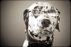 Dalmatian wearing glasses, black and white Royalty Free Stock Photography