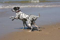 Dalmatians. Two dalmatians playing on the beach Royalty Free Stock Photos