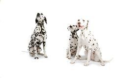 Dalmatians Royalty Free Stock Photography