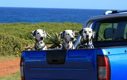 Dalmatians Stock Photos