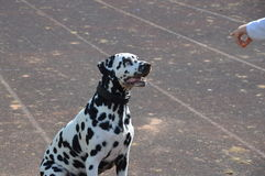 dalmatians Fotos de Stock Royalty Free